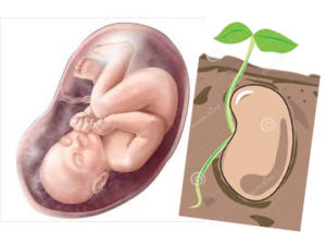 feto-semente-cópia